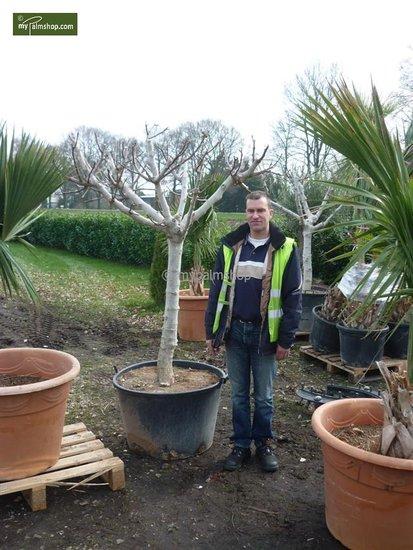 Ficus carica Brown Turkey - totale hoogte 180+ cm - stam 80+ cm - stamomtrek 20-24 cm [pallet]