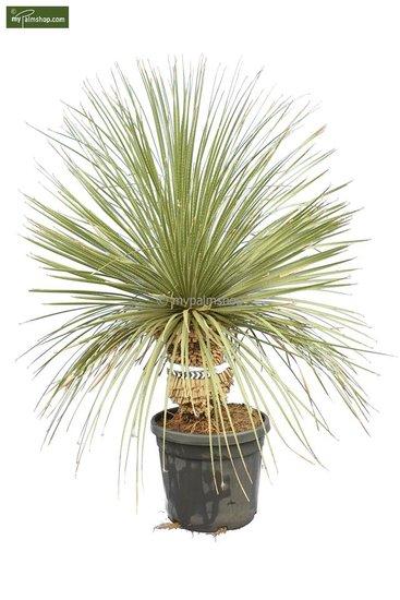 Dasylirion serratifolium stam 20-30 [pallet]