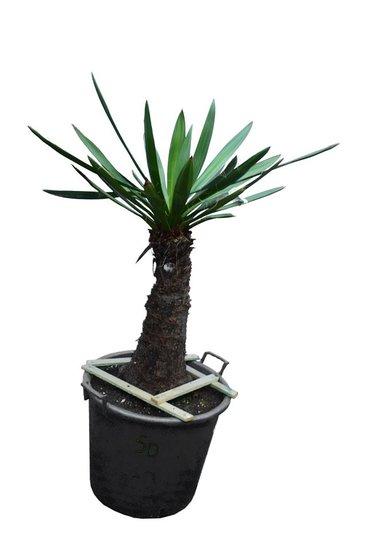 Yucca faxoniana stam 50-60 cm [pallet]
