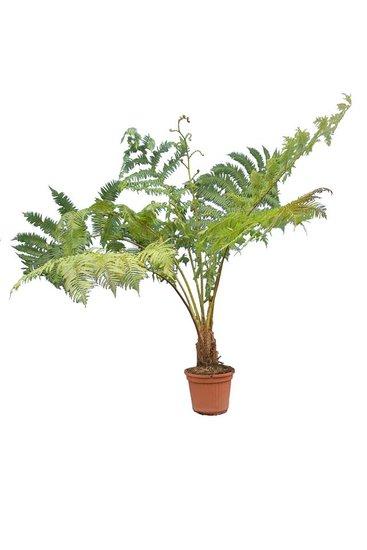 Cyathea cooperi pot Ø 40 cm [pallet]