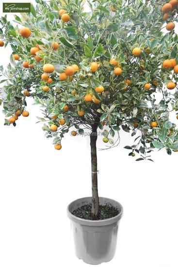 Citrus mitis Calamondine stam 60-70 cm [pallet]
