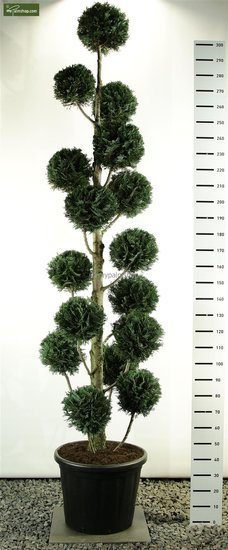 Chamaecyparis lawsoniana Columnaris Multibol pot: 100ltr. totale hoogte: 300+ cm [pallet]