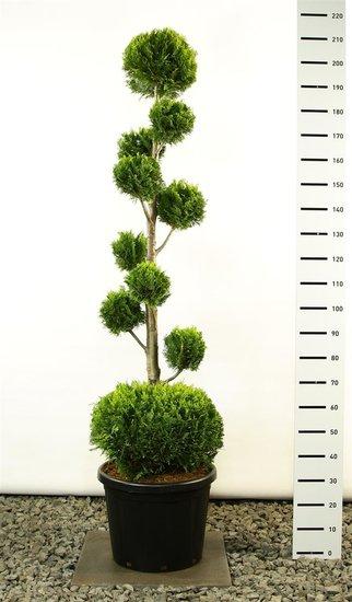Chamaecyparis lawsoniana Ivonne multibol + bol totale hoogte 200-225 cm [pallet]