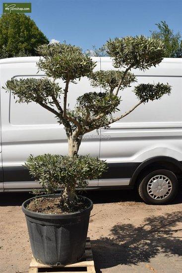 Olea europaea Bonsai 170 ltr [pallet]