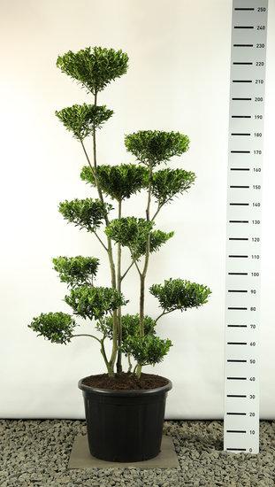 Ilex maximowicziana Kanehirae Multiplateau Extra - totale hoogte 170-200 cm [pallet]