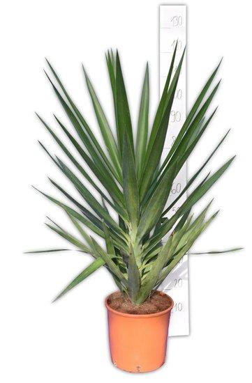 Yucca Elegans totale hoogte 110-130 cm - pot Ø26 cm