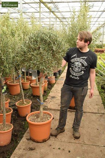 Olea europaea Bol op stam stam 80+ totale hoogte 170-190 cm [pallet]