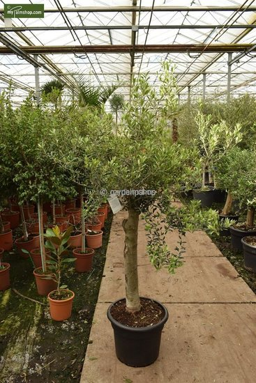 Olea europaea wilde vorm stamhoogte 40-50 cm stamomtrek 40-50 cm [pallet]