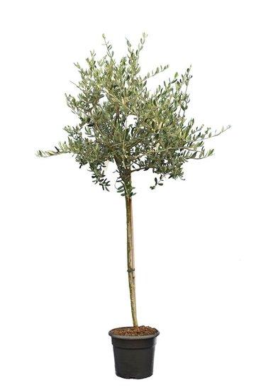 Olea europaea wilde vorm stamhoogte 90-110 cm stamomtrek 12-15 cm