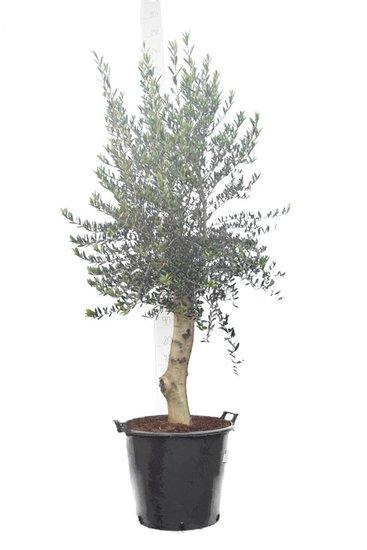 Olea europaea wilde vorm stamhoogte 80+ cm stamomtrek 30-40 cm [pallet]