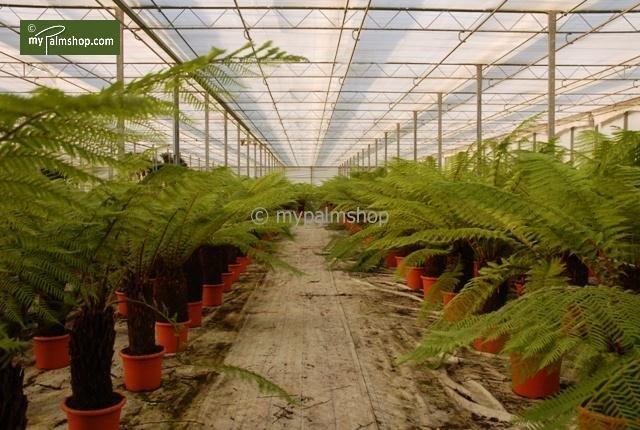 Dicksonia antarctica tronc 50-60 cm [palette]