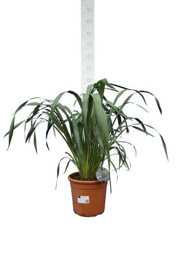 Phormium cookianum Tricolor pot Ø 32 cm