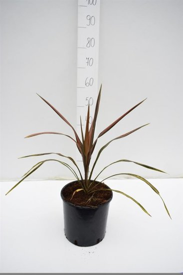 Cordyline Pacific Paradise pot Ø 22 cm
