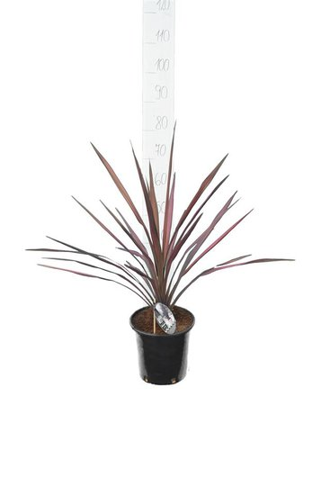 Cordyline Purple Sensation pot Ø 22 cm