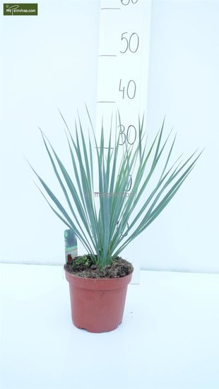 Yucca rostrata totale hoogte 30-40 cm pot Ø 15 cm