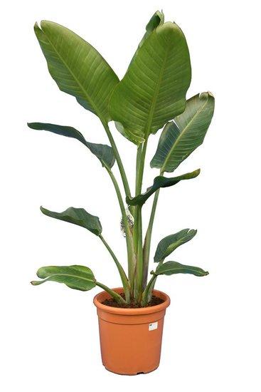 Strelitzia nicolai - totale hoogte 140-170 cm - pot Ø 30 cm - 2 planten per pot