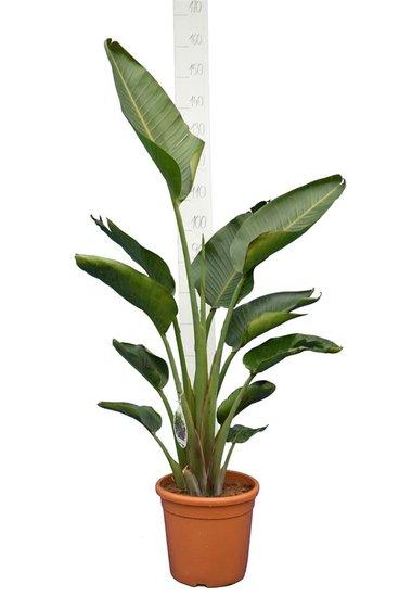 Strelitzia nicolai - totale hoogte 120-140 cm - pot Ø 24 cm - 2 planten per pot