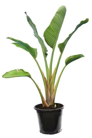 Strelitzia nicolai - totale hoogte 160-180 cm - pot Ø 36 cm - 3 planten per pot [pallet]