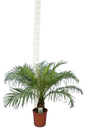 Phoenix roebelenii - stam 10-20 cm - totale hoogte 100-120 cm - pot Ø 24 cm