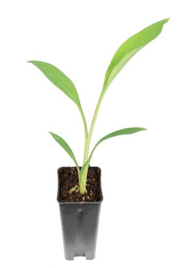 Musella lasiocarpapot 0,7 ltr