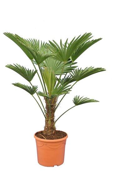 Trachycarpus wagnerianus Frosty - stam 25-35 cm - totale hoogte 100-120 cm - pot Ø 30 cm