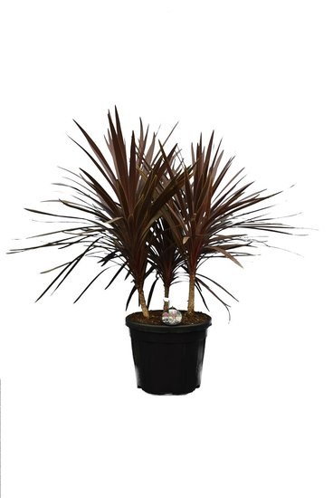 Cordyline australis Red Star Multritrunk totale hoogte 120-140 cm pot Ø 48 cm [pallet]