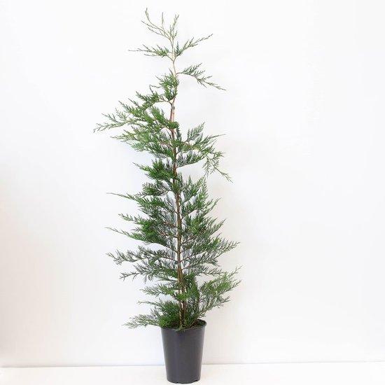 Cupressocyparis leylandii - totale hoogte 120-140 cm - pot 4 ltr