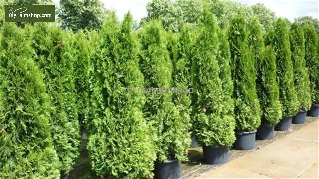Thuja occidentalis Smaragd (POTPLANT) 15 Ltr pot [pallet]