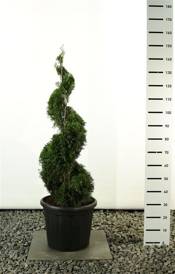 Thuja occidentalis smaragd emerald spiraal totale hoogte 125-150 cm