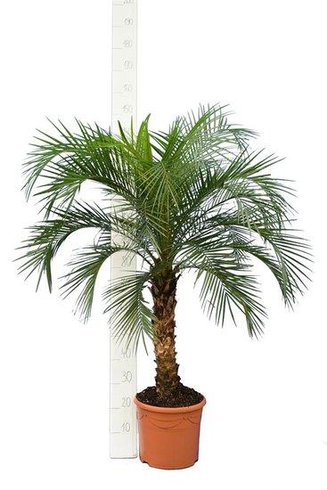 Phoenix roebelenii - stam 60-80 cm - totale hoogte 140-180 cm - pot Ø 35 cm [pallet]