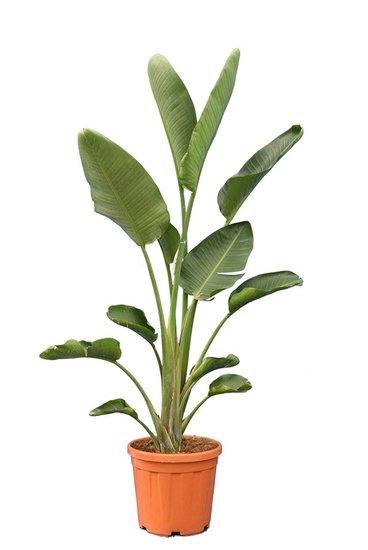 Strelitzia nicolai - totale hoogte 160-180 cm - pot Ø 36 cm - 2 planten per pot [pallet]
