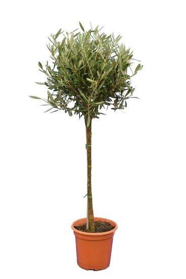 Olea europaea Bol op stam stamhoogte 60-80 cm stamomtrek 8-12 cm pot Ø 23 cm