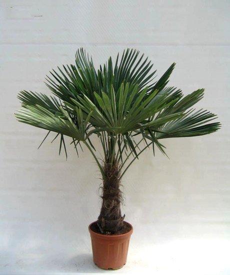 Trachycarpus fortunei - stam 40-50 cm - totale hoogte 140-150 cm - pot Ø 36 cm