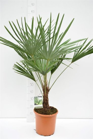 Trachycarpus fortunei - stam 15-25 cm - totale hoogte 120-140 cm - pot Ø 30 cm