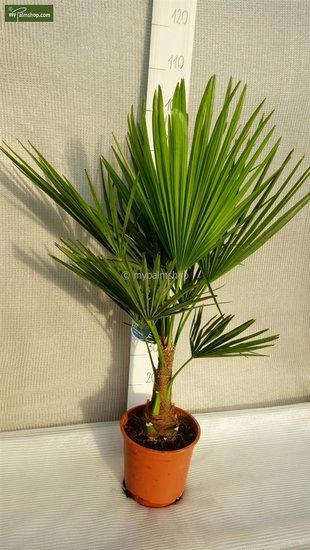 Trachycarpus fortunei - totale hoogte 70-90 cm - pot Ø 22 cm