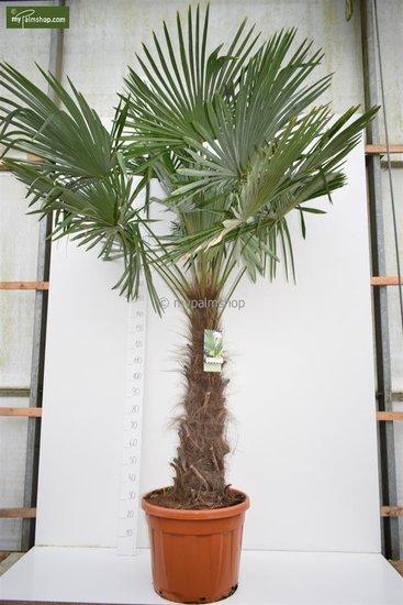 Trachycarpus fortunei -  stam 120-140 cm - pot Ø 50 cm [pallet]