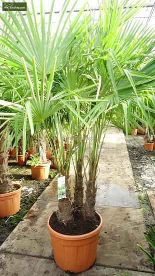 Trachycarpus fortunei ITALY Multitrunks - totale hoogte 180+ cm - pot Ø 55 cm [pallet]