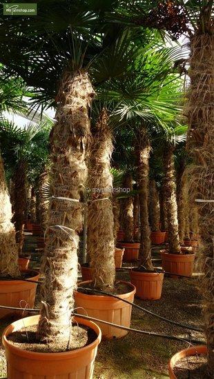 Trachycarpus fortunei - stam 140-160 cm - pot Ø 55 cm [pallet]