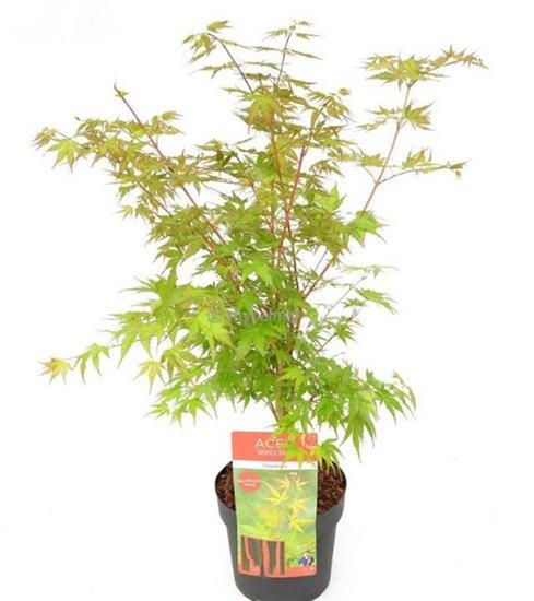 Acer palmatum Sangokaku - totale hoogte 60-80 cm - pot 3 ltr