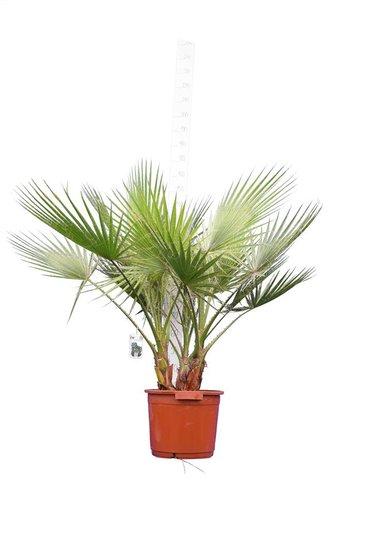 Washingtonia robusta Multistam - totale hoogte 130-150 cm - pot Ø 40 cm [pallet]
