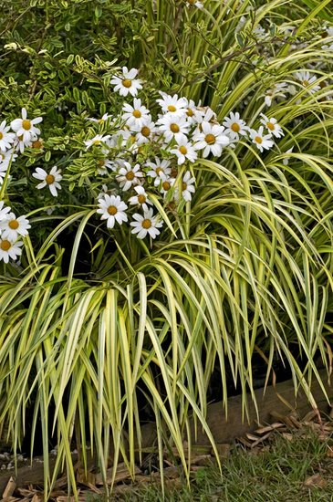 Carex oshimensis Evergold - pot 1 ltr