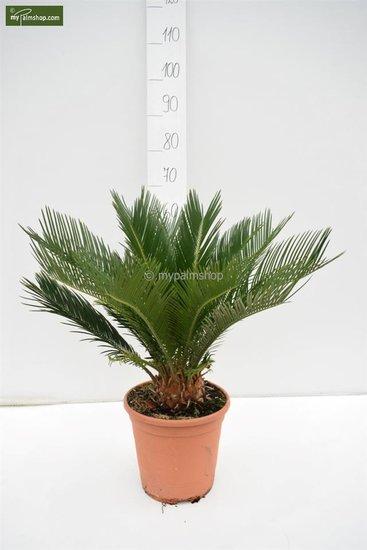 Cycas revoluta  - totale hoogte 55-65 cm - Ø 24 cm pot