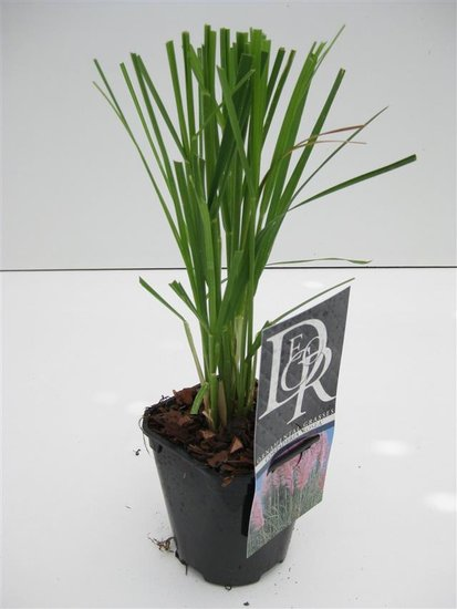 Cortaderia selloana Rosea - pot 1 ltr