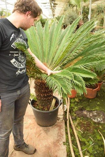Cycas revoluta - stam 50-60 cm - totale hoogte 140-160 cm - pot Ø 50 cm  [pallet]