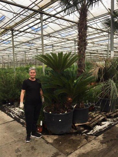 Cycas revoluta - multitrunk - stam 95-100 cm - totale hoogte 190-210 cm - pot 230 ltr  [pallet]