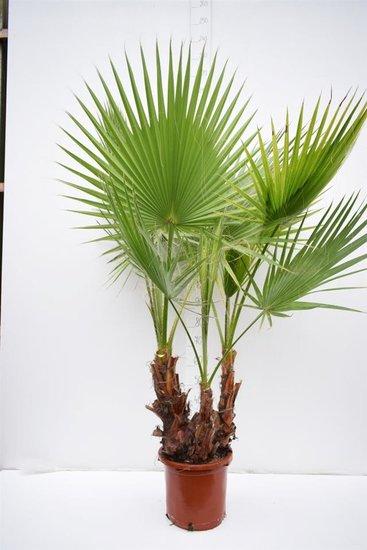 Washingtonia robusta Multistam - totale hoogte 140+ cm - pot Ø 35cm