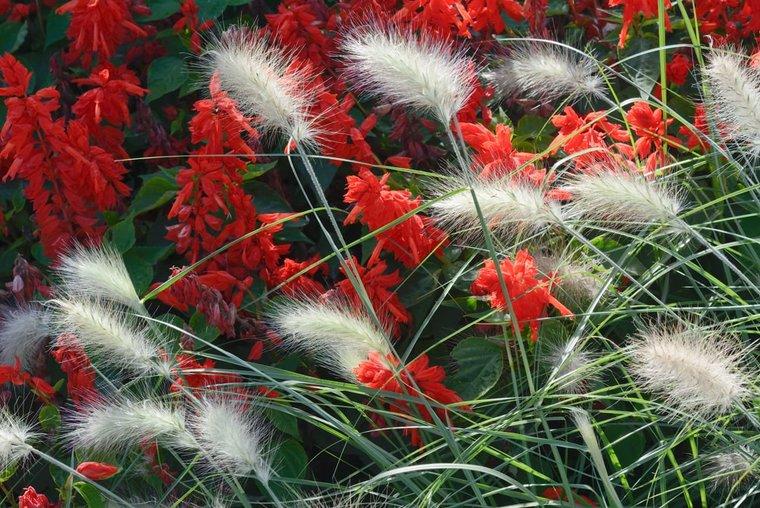 Pennisetum alopecuroides Little Bunny - totale hoogte 40-50 cm - pot 2 ltr