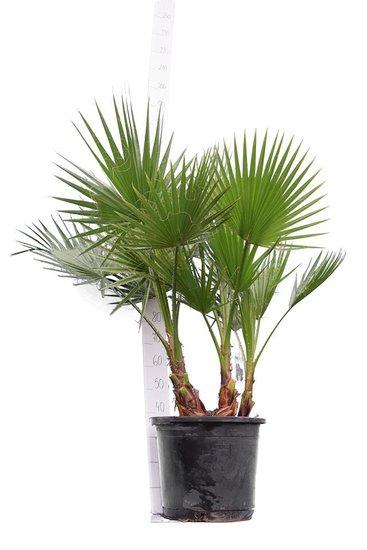 Washingtonia robusta Multistam - totale hoogte 140-160 cm - pot Ø 45 cm [pallet]