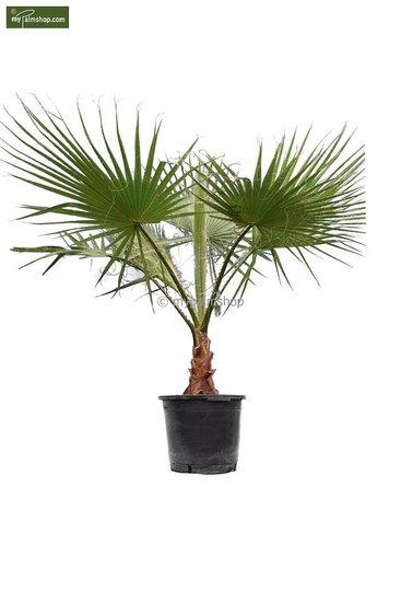 Washingtonia robusta - stam 30+ cm - totale hoogte 160+ cm - pot Ø 45 cm [pallet]