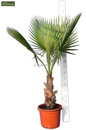 Washingtonia robusta - stam 40+ cm - totale hoogte 160-180 cm - pot 40 Ø cm [pallet]